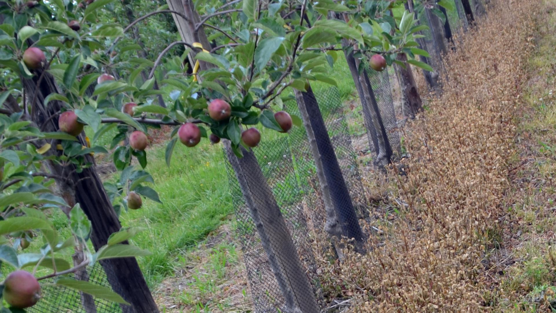 Versuch zur Anwendung von verschiedenen Glyphosat-Alternativen in Apfel mit einem MANKAR -Sprühgerät